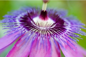 passion-flower-3.jpg